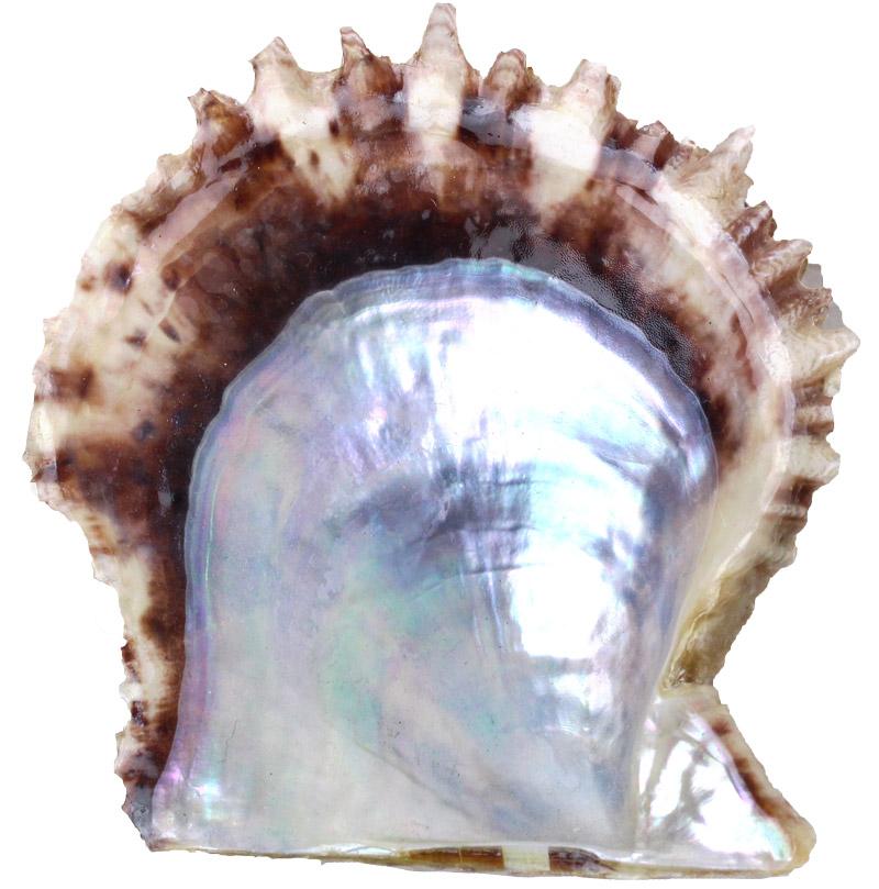 あこや貝の貝殻