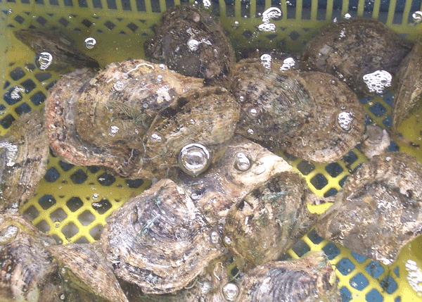 真珠の母貝